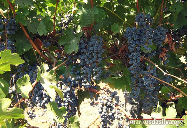 cacho de uva em Israel